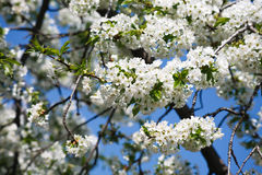 Cherry tree spring blossom, branch with flowers closeup Stock Image