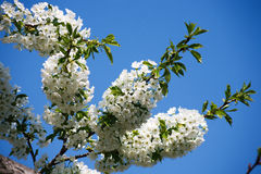 Cherry tree spring blossom, branch with flowers closeup Stock Photos