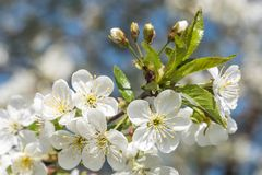 Cherry tree spring blossom lighted by sun. Beautiful cherry tree branch spring blossom. Pictured with closeup view royalty free stock photo