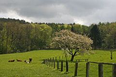 Cherry tree in spring with cows, Germany Stock Images