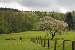 Cherry tree in spring, Germany Stock Image