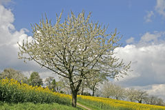 Cherry tree in spring, Germany Stock Images