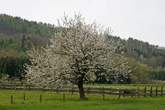 Cherry tree in spring, Germany Royalty Free Stock Photo