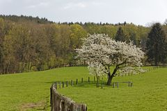 Cherry tree in spring, Lower Saxony, Germany Stock Photography