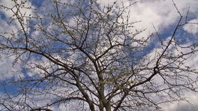 Cherry Tree In The Spring - Tid schackningsperiod stock video