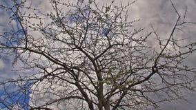 Cherry Tree In The Spring - Tid schackningsperiod arkivfilmer