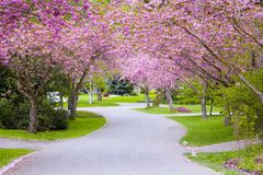 Cherry tree street Royalty Free Stock Photography