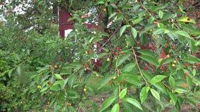 Cherry tree after summer rain in garden. 4K. Unripe cherry tree after summer rain in garden. 4K UHD video clip stock video