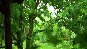 Cherry Tree With Summer Storm. Cherry Tree With Ripe Fruits In The Summer Storm stock footage