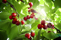Cherry tree. In the sunny garden Royalty Free Stock Image