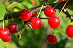Cherry tree. In the sunny garden royalty free stock photography