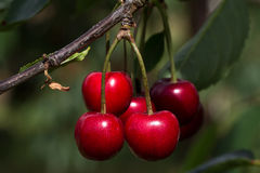 Cherry. Tree in the sunny garden Royalty Free Stock Image