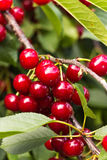 Cherry tree Stock Photos