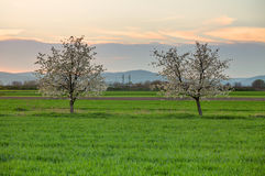 Cherry tree at sunset Stock Photography
