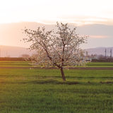 Cherry tree at sunset Stock Photo