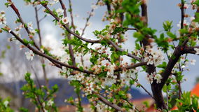Cherry Tree. Super 35mm Camera - Cherry Tree Flower Blooming In Spring stock footage