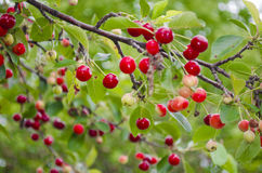 Cherry tree. Sweet cherries are the ones most often found in markets. They have a thick, rich, and almost plumb-like texture stock photography