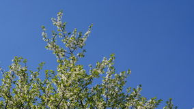 Cherry tree timelapse. A timelapse of a cherry tree in bloom with changing light and sky on a sunny day stock footage