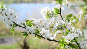 Cherry tree twig with blossom. Beautiful white cherry tree flowers and green leaves blown by breeze in spring. Cerasus avium stock video footage