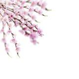 Cherry tree twig Royalty Free Stock Photos