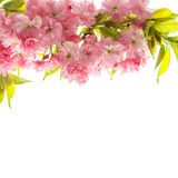 Cherry tree twig. Fresh spring sakura flowers with green leaves Stock Images
