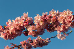 Cherry tree twigs in full bloom Royalty Free Stock Photography