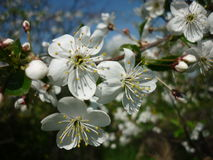 Cherry tree. Is very abundant and beautiful flowers in the spring. I love this time of year Stock Photography