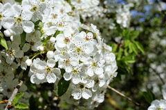 Cherry tree white blossom. Royalty Free Stock Image