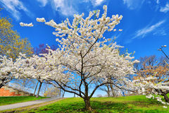 Cherry Tree Stock Image