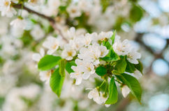 Cherry Tree White Flower Blossom Stock Photos