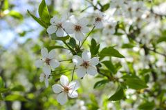 Cherry tree white flowers close up photo. Nature Stock Images