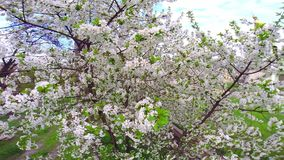 Cherry tree with white flowers stock video