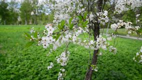 Cherry tree with white flowers in spring. Cherry tree with white flowers in a spring stock video