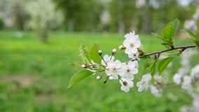 Cherry tree with white flowers in spring. Cherry tree with white flowers in a spring stock video footage