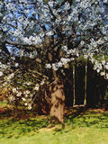 Swing in flowering cherry tree. Empty swing in flowering cherry tree on sunny day stock photo