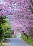 Cherry tree in Wuling Farm  Taiwan Royalty Free Stock Images