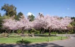 Cherry Trees fotografía de archivo libre de regalías