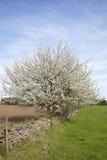 Cherry trees Royalty Free Stock Photos