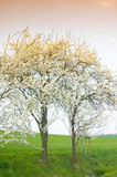 Cherry trees. Two blooming cherry trees at the wayside Stock Photos