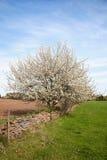 Cherry trees Royalty Free Stock Photo