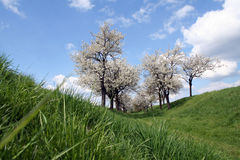 Cherry trees Royalty Free Stock Photo