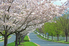 Cherry Trees. Blooming white cherry trees along country road Royalty Free Stock Images