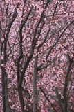 Cherry Trees Royalty Free Stock Photography