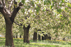 Cherry trees Royalty Free Stock Images
