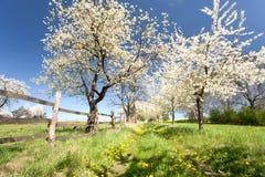 Cherry trees Stock Photos