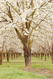 Cherry Trees Royalty Free Stock Image