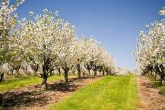 Cherry Trees Royalty-vrije Stock Afbeelding
