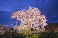 Cherry Trees Immagini Stock Libere da Diritti