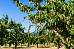 Cherry Trees Fotografia de Stock