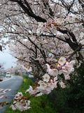 Cherry Trees Royaltyfri Foto
